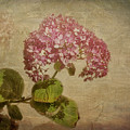 Vintage Hydrangea by Elaine Teague