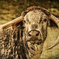 Vintage Longhorn Cattle by Mickey At Rawshutterbug