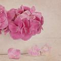 Vintage Pink Hydrangea by Kim Hojnacki