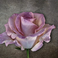 Vintage Rose On Gray by Terry Davis
