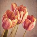 Vintage Tulips by Wim Lanclus