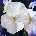 Pansy Flowers by Mona Stut