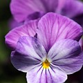 Viola Named Columbine by J McCombie