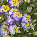 Violas by Karen Sturgill