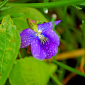 Violet After The Rain  by Elizabeth Stone