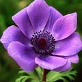 Violet Anemone by Jim Benest