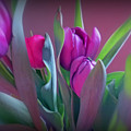Violet Colored Tulips by Kay Novy