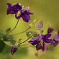 Violet Columbines by Jaroslaw Blaminsky