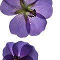 Violet Cranesbill by Francesca Winspeare