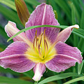 Violet Day Lily by Gayle Miller