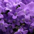 Violet Dream IIi by Stefania Levi