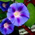 Violet Morning Glories by Shawna Rowe