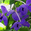 Violet Orchid Trio by Laurie Paci