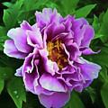 Violet Peony by Ronald Bolokofsky