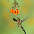 Violet-tailed Sylph Hummingbird by Jerry Fornarotto