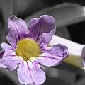 Violet Trumpet Vine Selective Color by Colleen Cornelius
