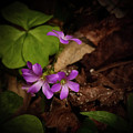 Violet Wood Sorrel by Teresa A and Preston S Cole Photography