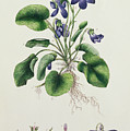 Violets by English School