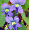 Violets by Jame Hayes