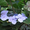 Violets O The Green by Kelly Mezzapelle