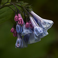 Virginia Bluebells by Andrea Silies