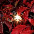 Virginia Creeper Sunburst 2 by Will Borden