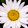 Virginia Daisy by Don Johnson