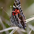 Virginia Lady Butterfly Side View by Carol Groenen
