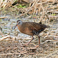 Virginia Rail by Dennis Hammer