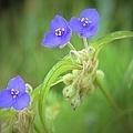Virginia Spiderwort by Bonfire Photography