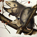 Virginian Opossum by John James Audubon