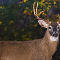 Virginian White Tail Buck by Mark Stephens