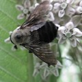 Visiting Milkweed by Rachelle Hadlock
