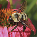 Visitor Up Close Coneflower  by Reid Callaway