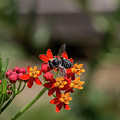 Visor Wearing Bee Pollinates A Colorful Flower by Sharon Minish