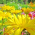 Vivid Colorful Yellow Daisy Flowers Daisies Baslee Troutman by Baslee Troutman