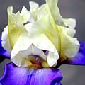 Vivid Iris 6622 H_3 by Steven Ward