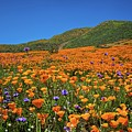 Vivid Memories Of The Walker Canyon Superbloom by Lynn Bauer