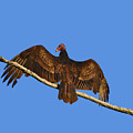 Vivid Vulture .png by Al Powell Photography USA