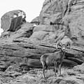Valley Of Fire Bg Horn Sheep by John McGraw