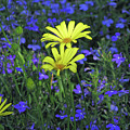 Voltage Yellow And Electric Blue 06 by Pamela Critchlow