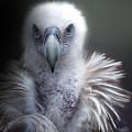 Vulture 2 by Christine Sponchia