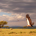 Vulture On The Mara by Michael Morrissey
