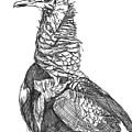Vulture Sketch by Katie Ree
