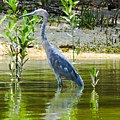 Wading Blue Heron by Marilee Noland
