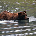 Wading Brown Bear by Deanna Cagle
