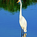Wading Great White Egret by Mark Andrew Thomas