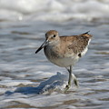 Wading Willet by Dan Williams