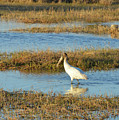 Wading Wood Stork by Bob Phillips