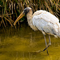 Wading Wood Stork by Christopher Holmes